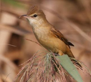 Burung Cikrok (kerakbasi) Yang Terdapat di Indonesia