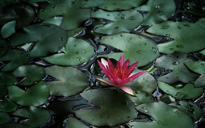 red water lily widescreen resolution hd wallpaper