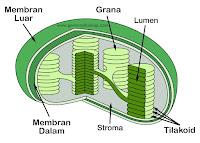 kloroplas, kloroplas berfungsi untuk, kloroplas pdf, kloroplasma, kloroplas ditunjukkan oleh bagian nomor, kloroplas dan mitokondria, kloroplas fungsi, kloroplas mengandung enzim hidrolisis, kloroplas ppt, kloroplas ditunjukan oleh bagian nomor, kloroplas dan klorofil, kloroplas mengandung, kloroplas pada sel hewan, kloroplas pada spirogyra karena, kloroplas kaktus terdapat pada jaringan, kloroplas memiliki membran rangkap, kloroplas terdapat terutama pada bagian daun yg dinamakan, kloroplas dan bagiannya, kloroplas pada kaktus, kloroplas dapat melakukan reproduksi, kloroplas membran ganda, kloroplas adalah, kloroplas amoeba, kloroplas artinya, kloroplas adalah organ sel yang berfungsi untuk, kloroplas adalah plastida yang mengandung pigmen, kloroplas alga yang mengandung fikobilin, kloroplas alga, kloroplas adl, kloroplas asimilasi