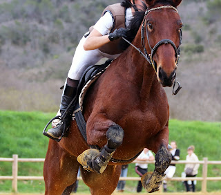 Dark bay Horse With a riding show jumping