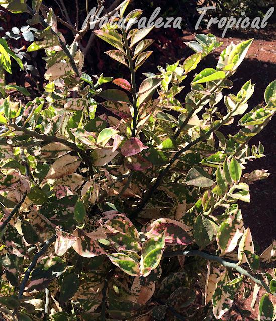 Variedad variegada de la planta suculenta Relámpago, Euphorbia tithymaloides