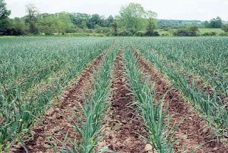 чеснок,яровой чеснок,озимый чеснок,как сажать чеснок,Knoblauch,Sommerweizen Knoblauch,озимый Knoblauch,wie Pflanzen Knoblauch,garlic,spring garlic,winter garlic,how to plant garlic,