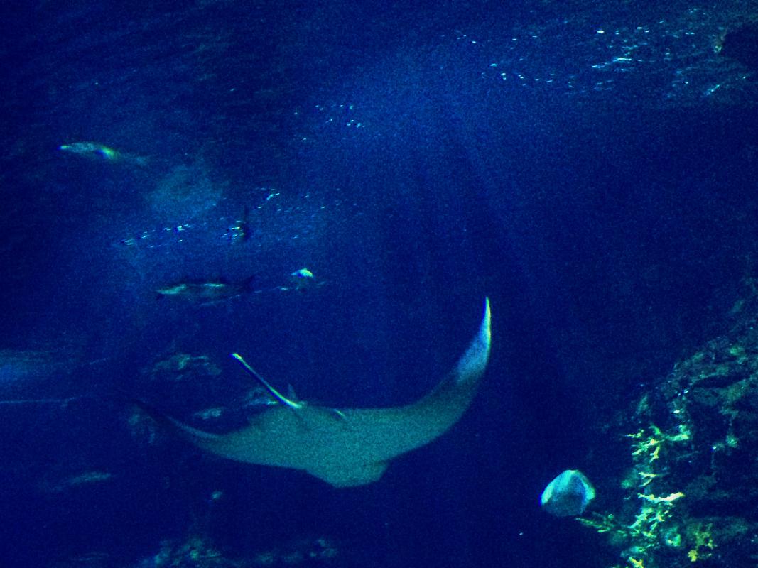 Płaszczka - oceanarium w Barcelonie