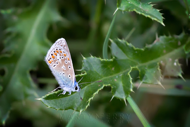 Macro image of wing pattern on a male common blue butterfly