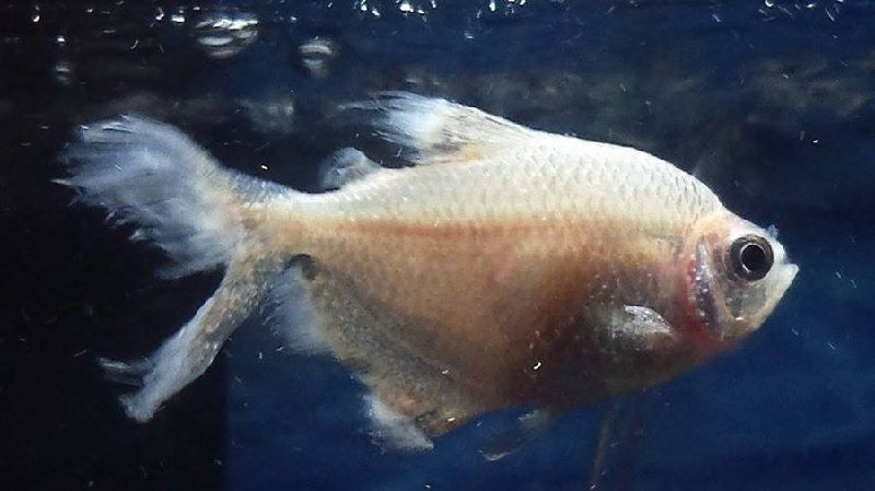 Ciri-Ciri Ikan Sakit Berenag Cepat dan Mondar-Mandir