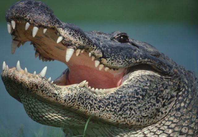 alligator eats baby disney world florida