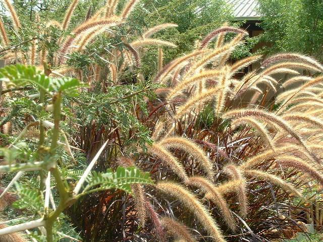 Gardening in africa ornamental grasses in the garden for Grass like flowering plants