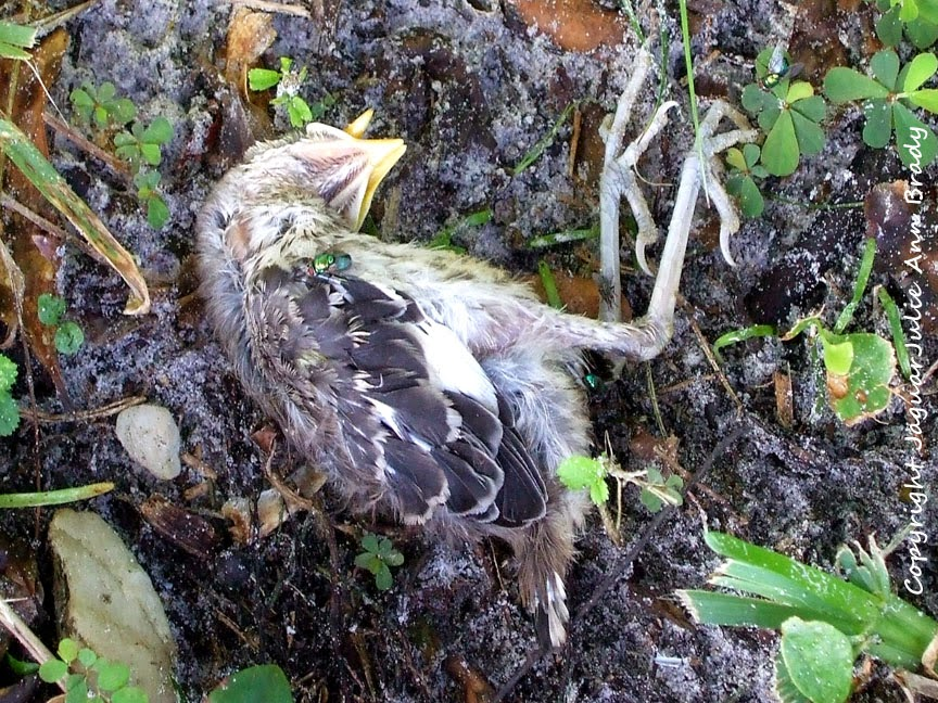 Beatnheart: A Crazy Birdy Day...the update.  Newborn Mockingbird