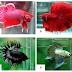 Ikan Cupang (Betta sp)