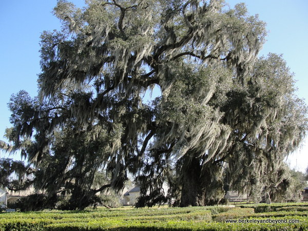 gigantic tree at Evergreen Plantation in Edgard, Louisiana