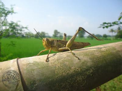 FOTO : Belalang betina ukurannya lebih besar dari belalang jantan