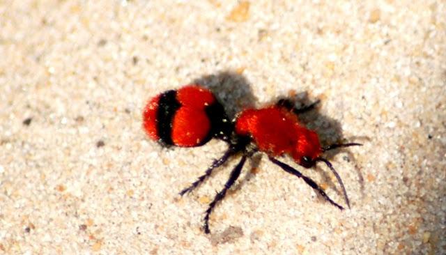 Enam Serangga Berikut Miliki Serangat Paling Menyakitkan Di Dunia