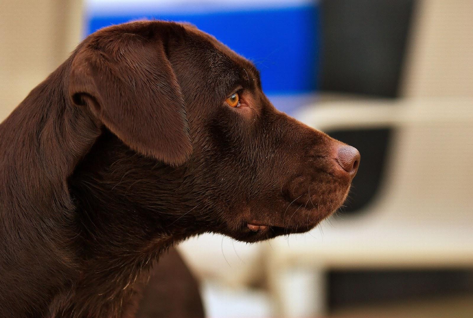 45 Meaningful Female Chocolate Labrador Names | The Modern Bark ...