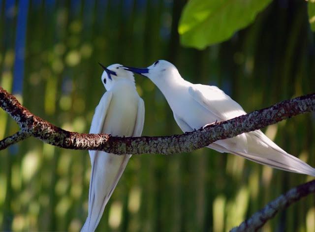 Chim nhàn trắng là một loại chim biển có kích thước nhỏ với bộ lông màu trắng, chiếc mỏ dài màu đen, đôi chân màu vàng.