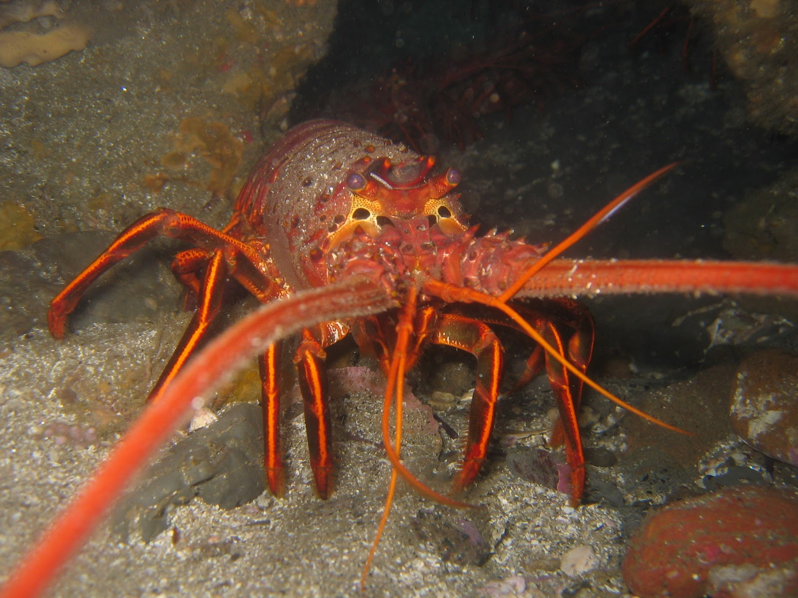 Lobster | The Life of Animals