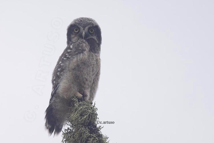 Christian Artuso: Birds, Wildlife: Treeline to Tundra - photo#34