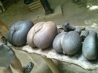Seychelles Giant 66 Pound Sea Coconut