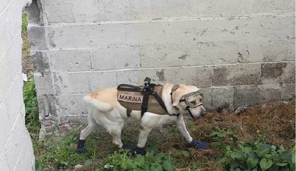 """Conoce a """"Frida"""", la perra rescatista que ha logrado salvar 52 vidas"""