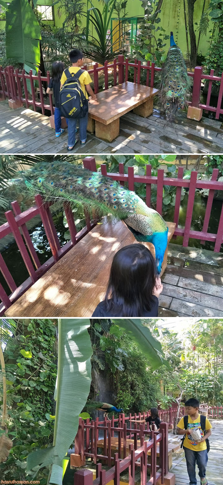 Percubaan Beri Makan Peacock di Langkawi Wildlife Park