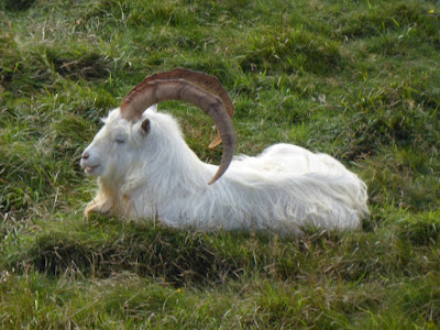 Kashmiri Goat