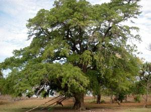Pohon asam jawa tanaman peneduh