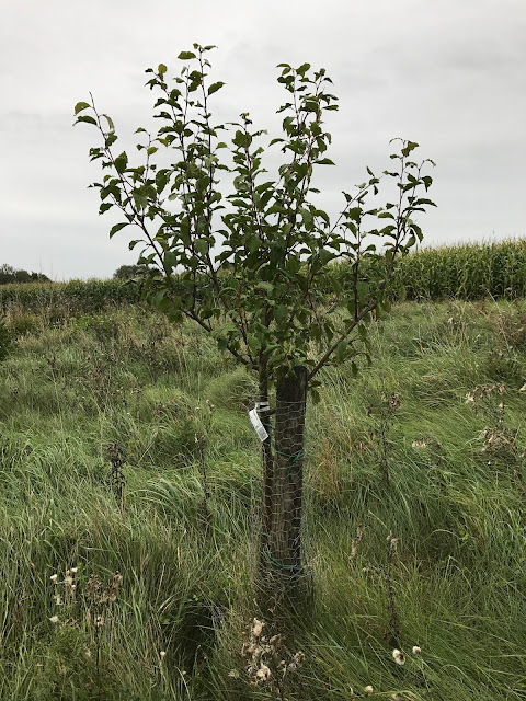 Junger Zwetschgenbaum (c) by Joachim Wenk