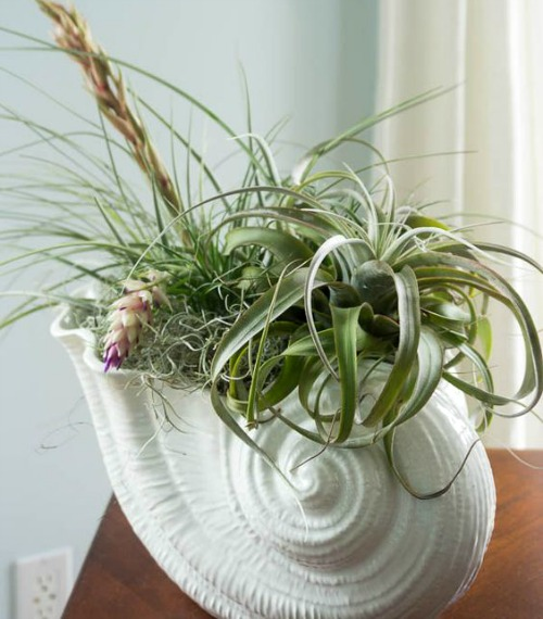 Nautilus Shell Vase with Air Plant