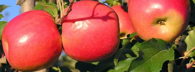 Image result for सेब बाहर से तो लाल होता ही है