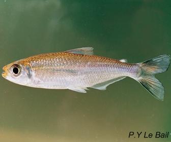Orangefin tetra, Bryconops affinis
