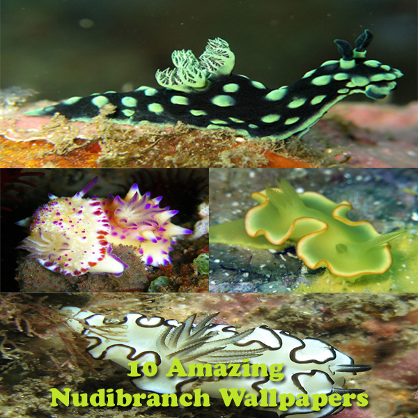 nudibranch wallpapers