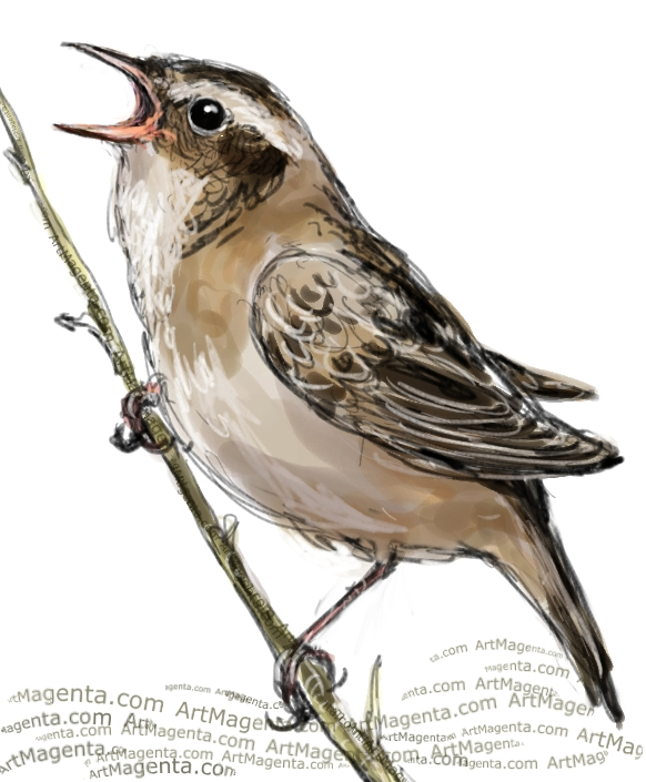 Sedge Warbler sketch painting. Bird art drawing by illustrator Artmagenta