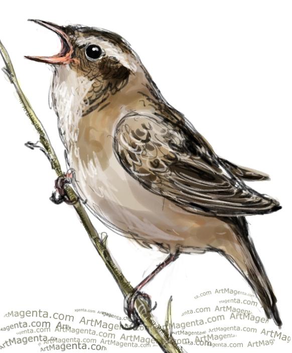 Sedge Warbler sketch painting. Bird art drawing by illustrator Artmagenta