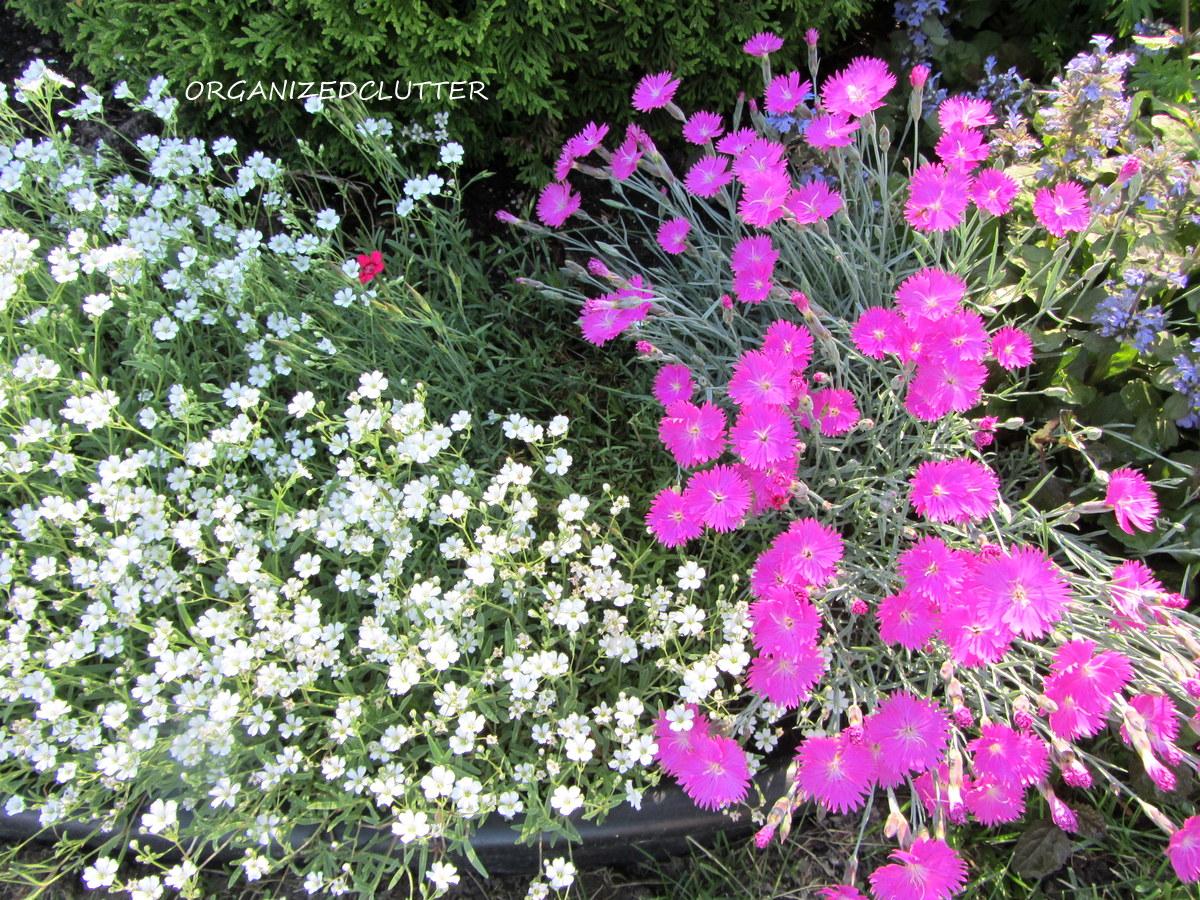 Dianthus A Cottage Garden Flower Organized Clutter