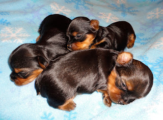 Courtney S Akc Yorkies Lexi S Puppies 2 1 2 Weeks Old