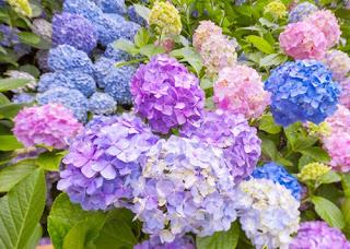 bunga-hortensia-surabaya