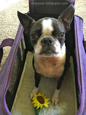Sinead the Boston terrier in her carrier