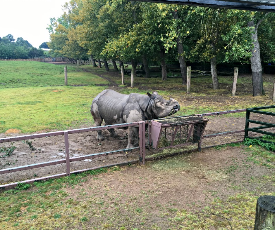 A rhino, at Chester Zoo, eats on grass