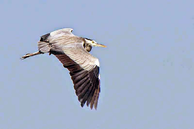 Ardea cinera, Grey Heron, flight