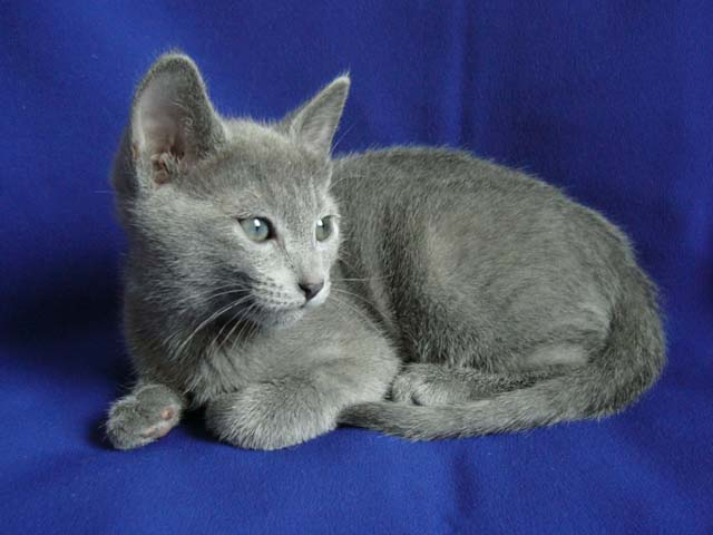 Russian Blue Kittens pictures cats females males russian blue images photography