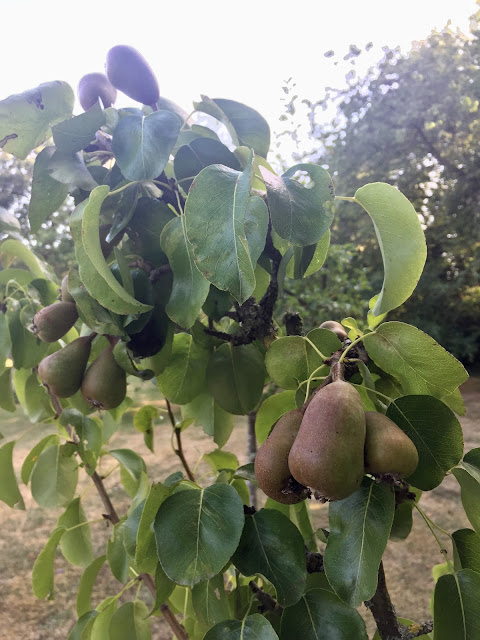 Picture of young pears