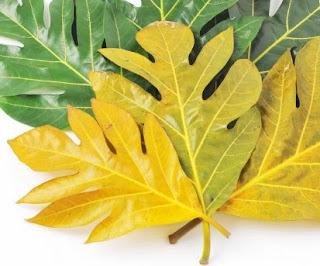 cara mengolah daun sukun, efek samping minum rebusan daun sukun, manfaat daun sukun untuk ginjal, manfaat daun sukun muda, manfaat daun sukun untuk diabetes, cara mengolah daun sukun kering, cara mengolah daun sukun untuk obat jantung, khasiat daun sukun untuk jantung