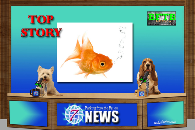BFTB NETWoof News Top Story is a goldfish with a wheelchair