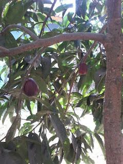 pohon cangkokan jambu apel