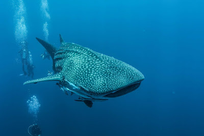 Photo of the whale shark at diving with Kon Tiki Dive Center