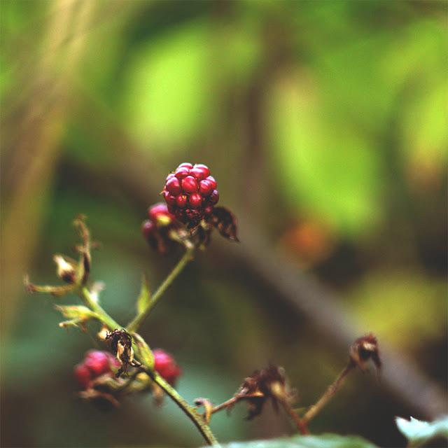 sie robi, blackberry, jezyna, braambes