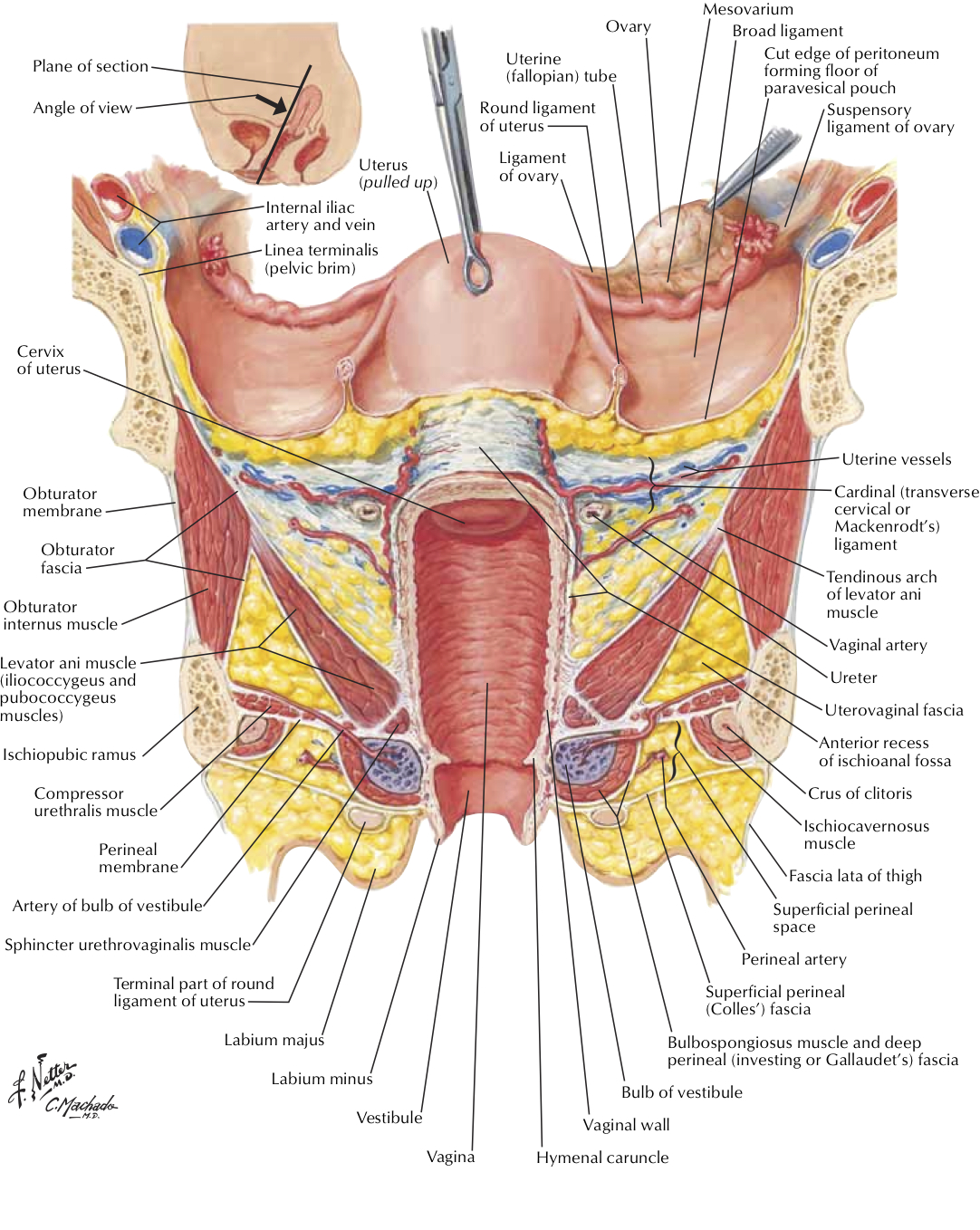 anatomy of female sex organs