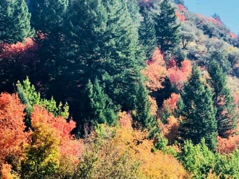 fall-Idaho-aspen-trees