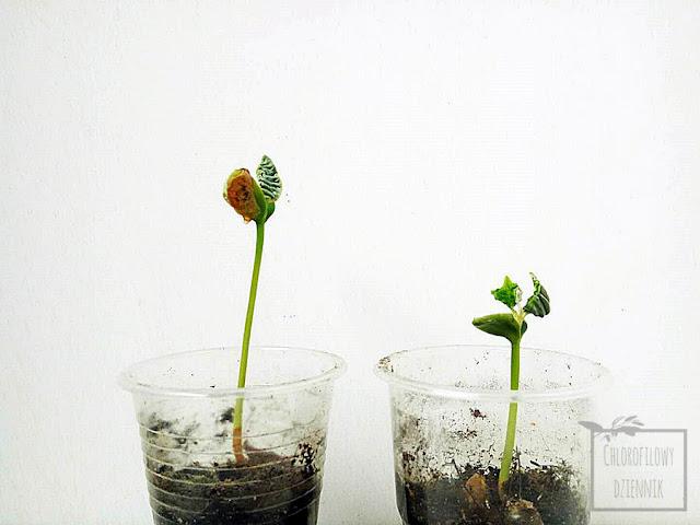 Star Apple (Chrysophyllum caimito), czyli caimito z nasion, jak wysiać starapple z pestki, uprawa od nasionka w doniczce, egzotyczne i mało znane rośliny owocowe, hodowla tropikalnej rośliny z nasiona, siew, kiełkowanie, jak kiełkuje, jak długo trzeba czekać na skiełkowanie cainito?