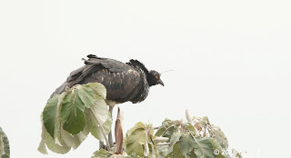 Horned Screamer