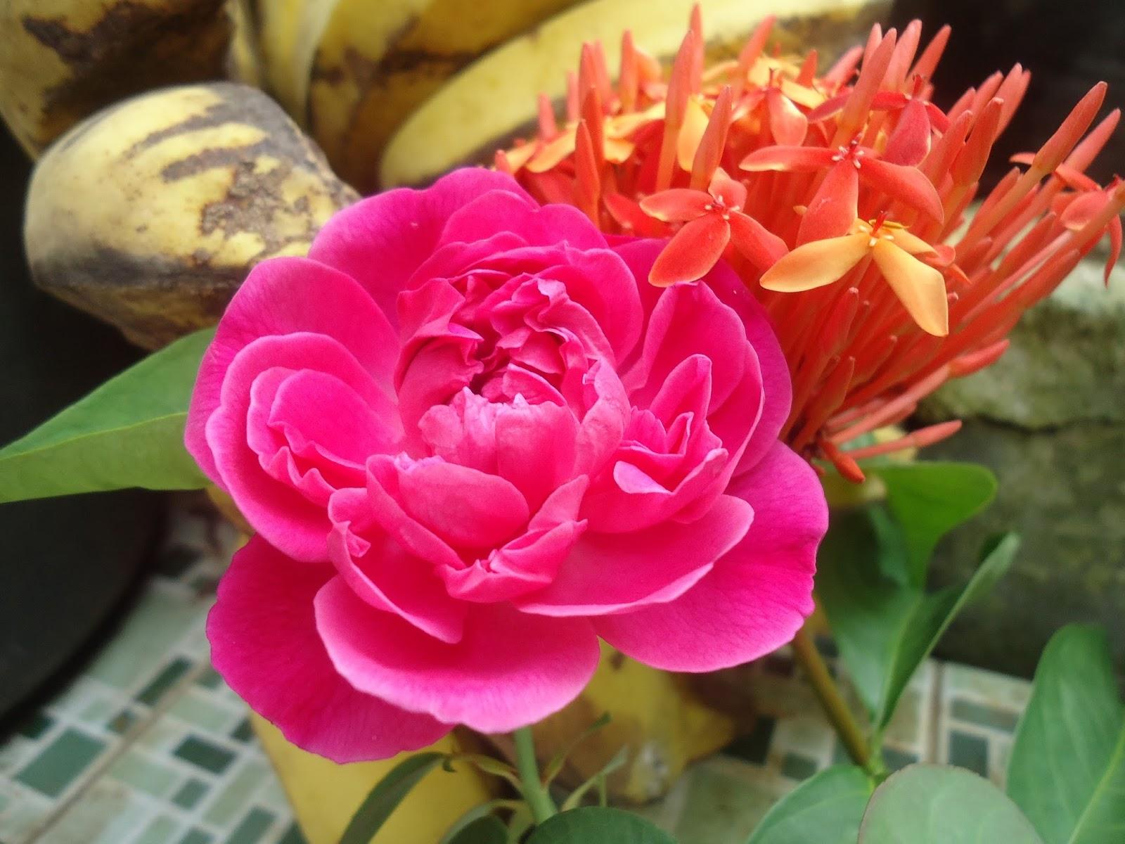 Wallpaper Bunga Mawar Merah Bercahaya Rumah Daun Muda